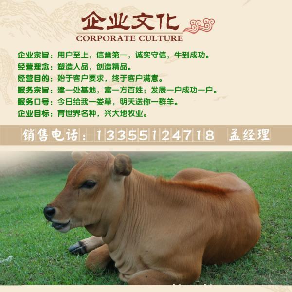 肉牛_肉牛价格_鲁西黄牛_西门塔尔牛_国家级重点肉牛养殖场图片