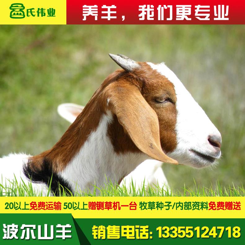 波尔山羊-21.jpg