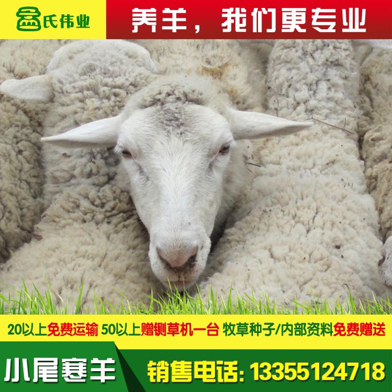 小尾寒羊-4.jpg