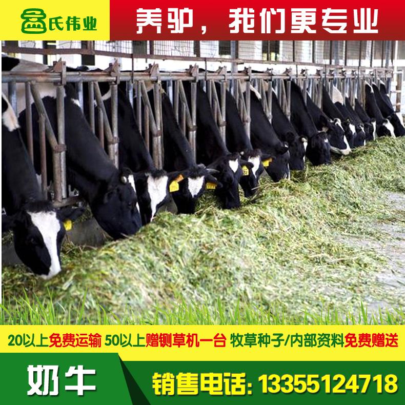 奶牛-主图-6.jpg