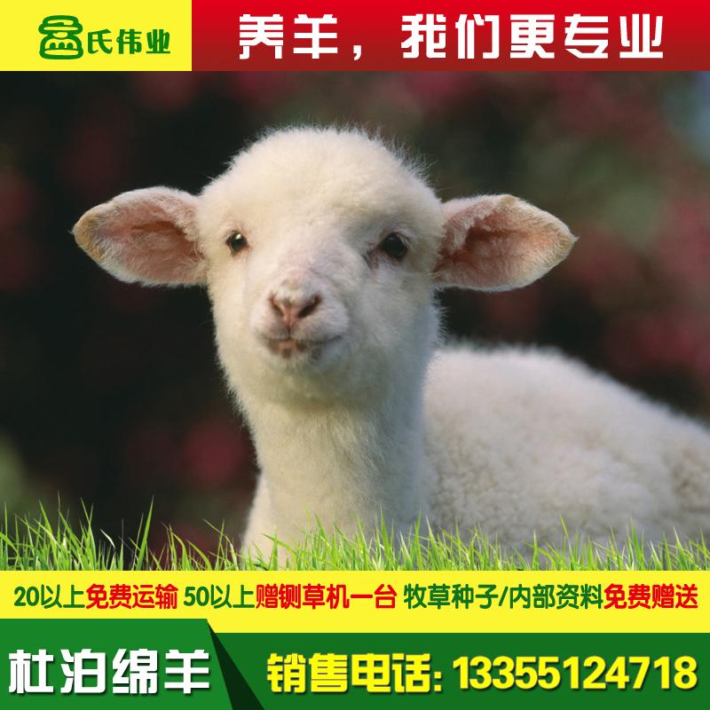 杜泊绵羊-白头-详情-20.jpg
