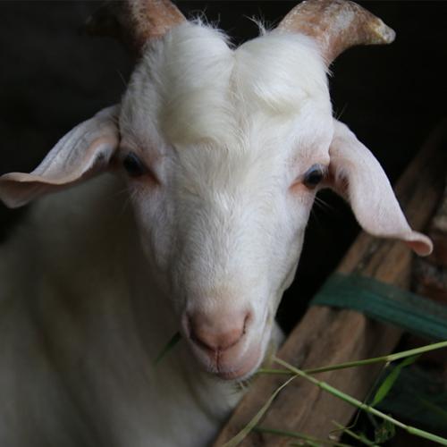 山羊建栏圈的目的 羊舍建筑要求