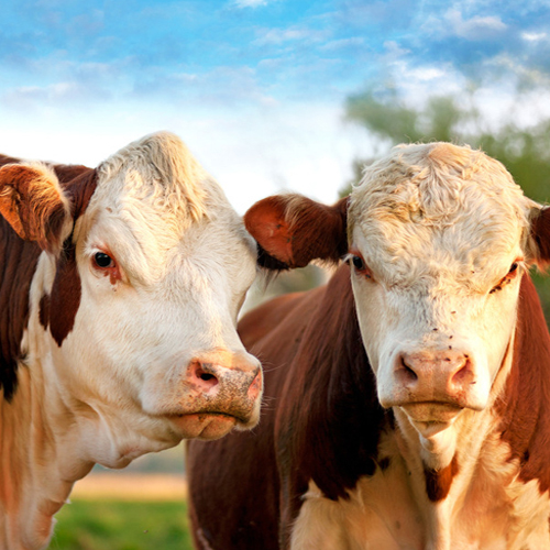 农村养西门塔尔牛饲粮搭配原则是什么