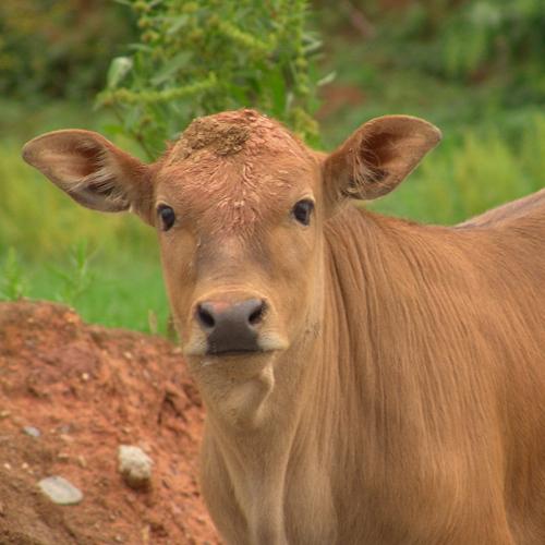 鲁西黄牛牛圈环境怎么样改善