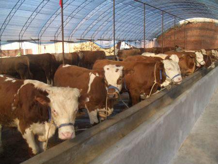 冬季怎样养西门塔尔牛