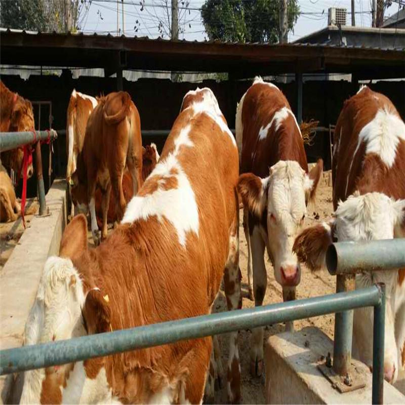 西门塔尔母牛异常发情的识别