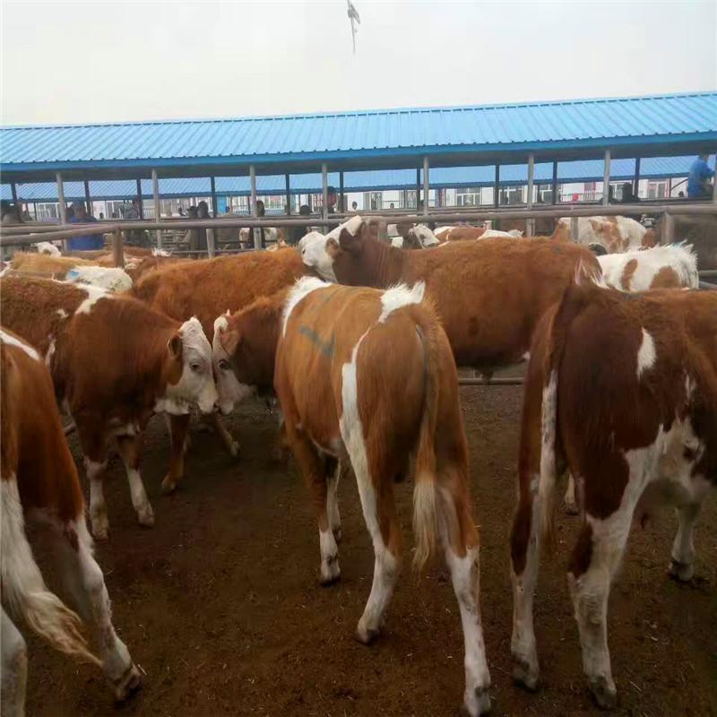 如何应对西门塔尔牛产犊高峰?