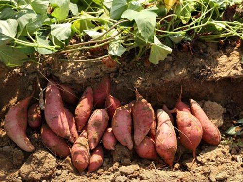 红薯 (1)