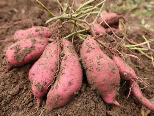 红薯 (4)